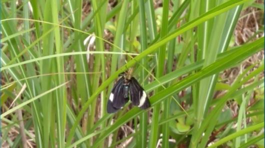 クモに捕らえられた蛾