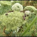 ニンジンの花とカメムシ