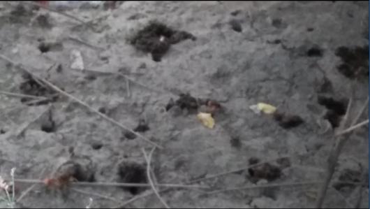 泥が堀だされたカニの巣